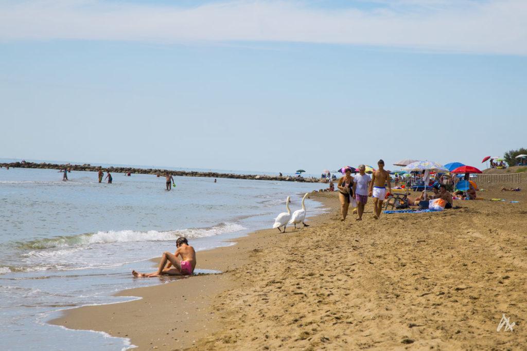 Cigni sulla spiaggia